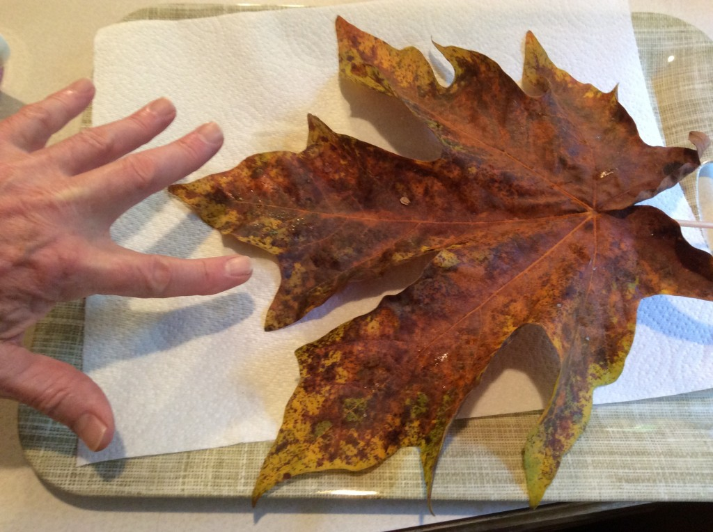 huge maple leaf from our back yard