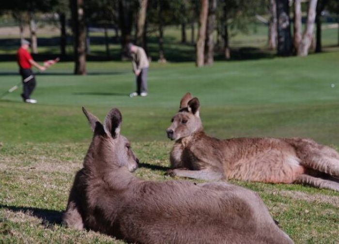 This is not your usual golf course viewing...