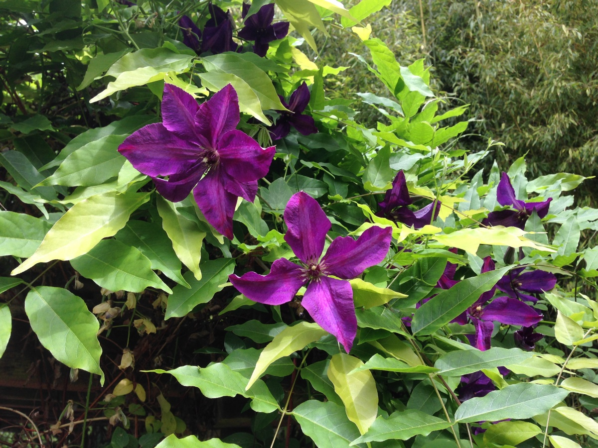 my back yard clematis...deep purple..love it