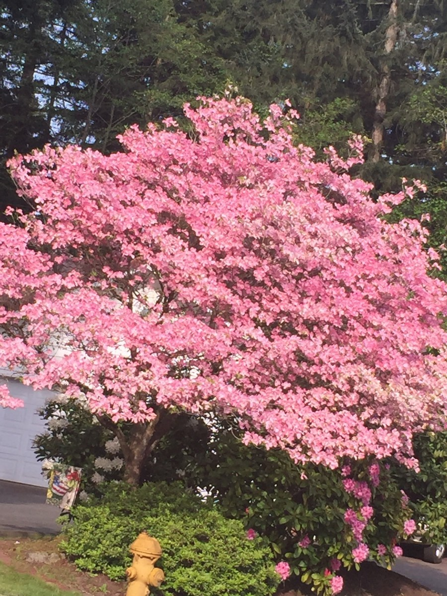 LOVELY PINK DOGWOOD